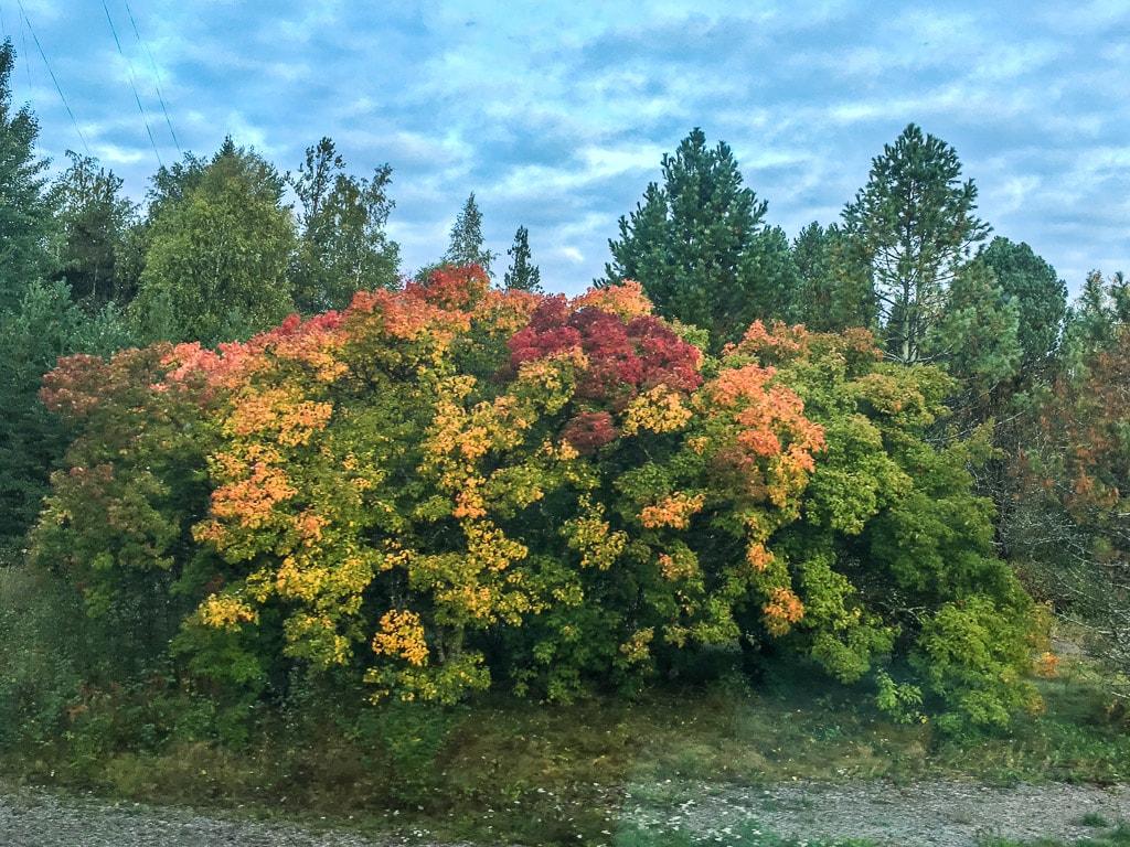 Nachtzug Lappland Baum Herbst Ruska