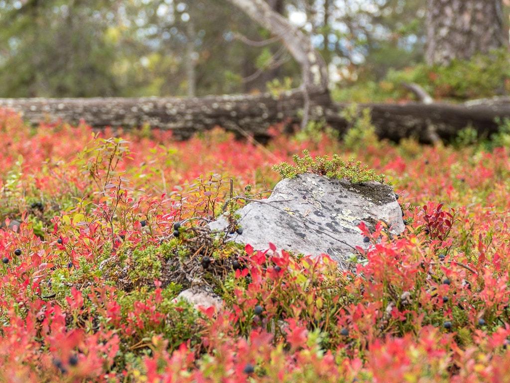 Nationalpark Pyhä Luosto Lappland Wald Ruska Blaubeeren